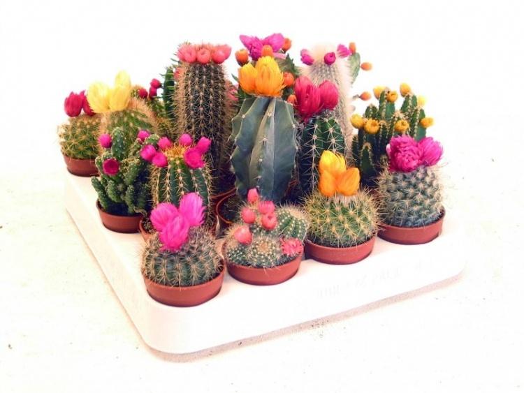 kaktus_750x563