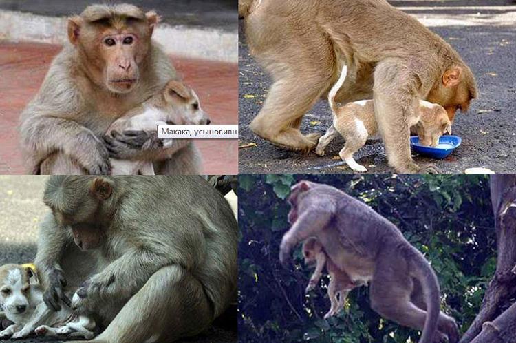 v-indii-makaka-usynovila-shchenka