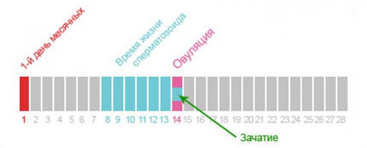 skolko-dnej-proishodit-zachatie-2_1_750x303