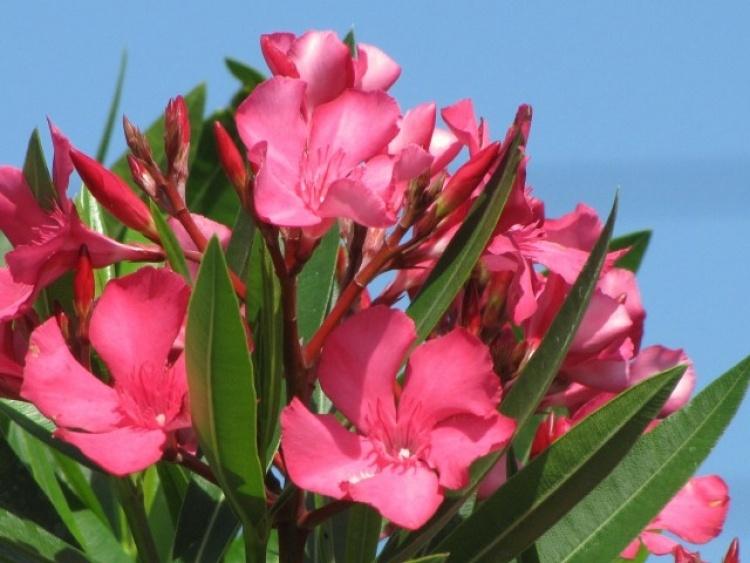 nerium_oleander_calypso_pink22_750x563