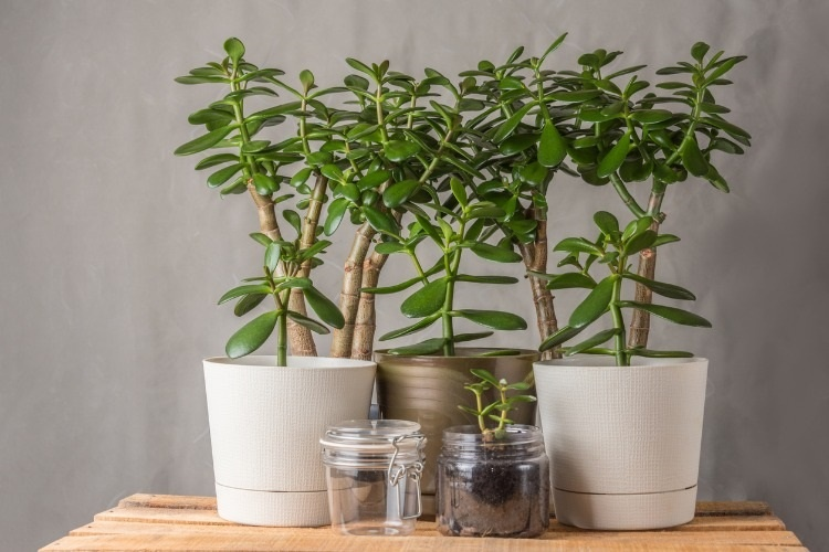 succulent-houseplant-crassula-in-pots-on-a-grey-background-picture-id916807058