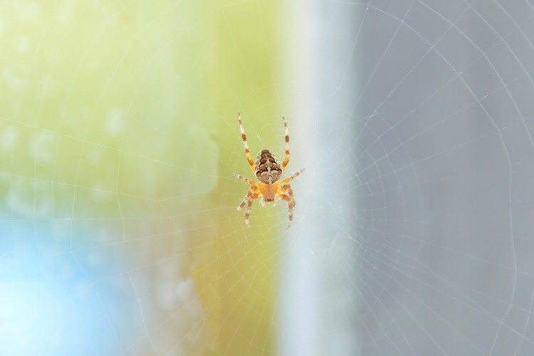 the-walnut-orbweaver-spider-picture-id1012426432